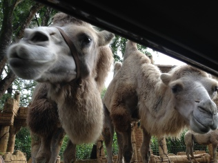 Cute camels peering in. Who are all these strange-looking people?